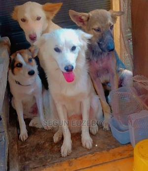 6-12 Month Male Purebred American Eskimo | Dogs & Puppies for sale in Lagos State, Ajah