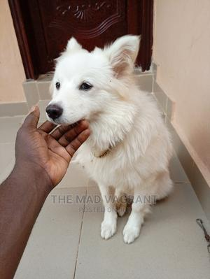 6-12 Month Male Purebred American Eskimo | Dogs & Puppies for sale in Osun State, Osogbo