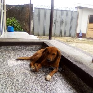 1-3 Month Female Mixed Breed Goldador | Dogs & Puppies for sale in Rivers State, Port-Harcourt