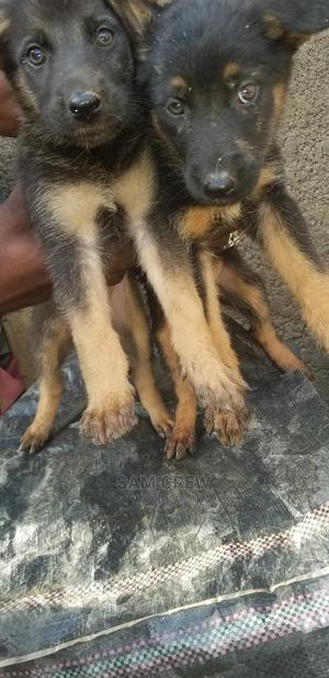 3-6 Month Female Purebred German Shepherd   Dogs & Puppies for sale in Abuja (FCT) State, Maitama