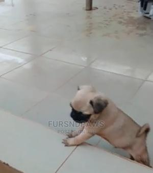 1-3 Month Male Purebred Pug | Dogs & Puppies for sale in Lagos State, Agege