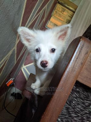 3-6 Month Male Purebred American Eskimo | Dogs & Puppies for sale in Edo State, Benin City