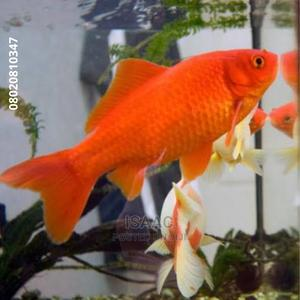 Gold Fish for Sale   Fish for sale in Lagos State, Ikeja