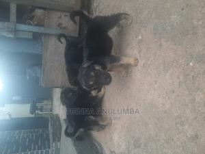 1-3 Month Male Mixed Breed German Shepherd | Dogs & Puppies for sale in Edo State, Benin City