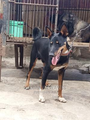 6-12 Month Male Mixed Breed Doberman Pinscher   Dogs & Puppies for sale in Lagos State, Ikorodu