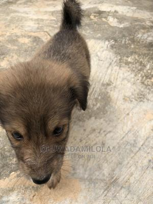 1-3 Month Female Mixed Breed Dog | Dogs & Puppies for sale in Lagos State, Agboyi/Ketu