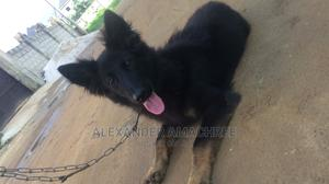 3-6 Month Male Purebred German Shepherd | Dogs & Puppies for sale in Rivers State, Port-Harcourt