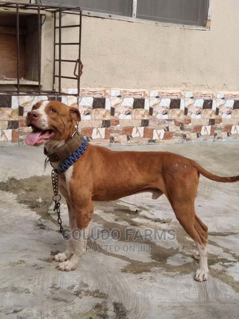 1+ Year Male Purebred American Pit Bull Terrier