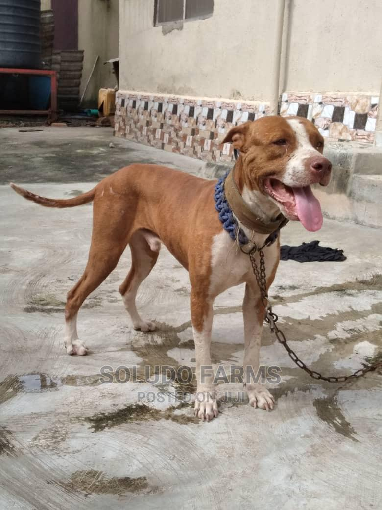 1+ Year Male Purebred American Pit Bull Terrier | Dogs & Puppies for sale in Maryland, Lagos State, Nigeria