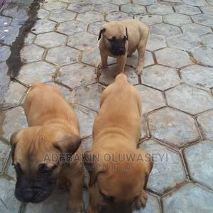 1-3 Month Male Purebred Boerboel | Dogs & Puppies for sale in Lagos State, Agege