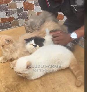 1-3 Month Female Purebred Persian | Cats & Kittens for sale in Lagos State, Badagry