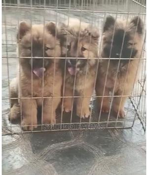 1-3 Month Female Purebred Chow Chow | Dogs & Puppies for sale in Lagos State, Badagry
