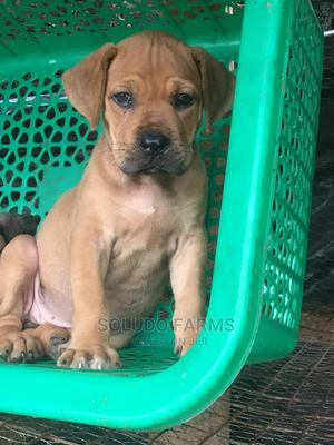 1-3 Month Female Purebred Boerboel | Dogs & Puppies for sale in Lagos State, Maryland