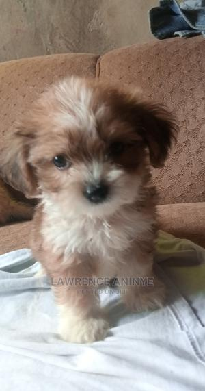 1-3 month Male Purebred Lhasa Apso | Dogs & Puppies for sale in Ogun State, Obafemi-Owode