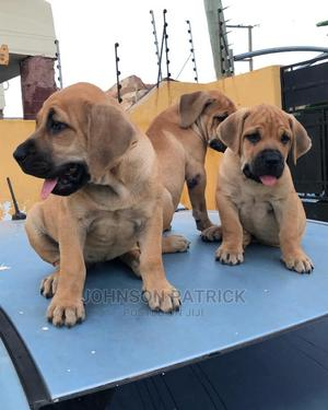 1-3 Month Male Purebred Boerboel   Dogs & Puppies for sale in Delta State, Warri
