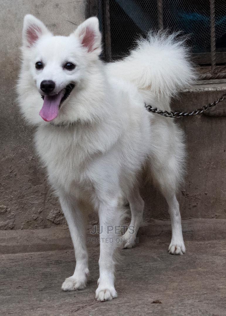 1+ Year Male Purebred American Eskimo | Dogs & Puppies for sale in Alimosho, Lagos State, Nigeria