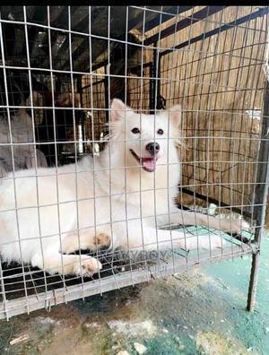 1+ Year Female Purebred American Eskimo | Dogs & Puppies for sale in Oyo State, Ibadan