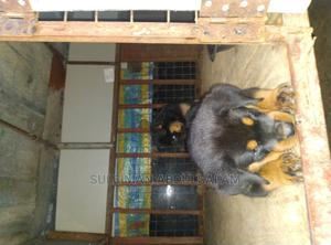 1-3 Month Male Purebred Rottweiler | Dogs & Puppies for sale in Abuja (FCT) State, Kado