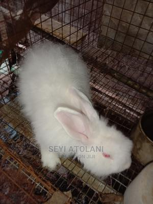 Angora Rabbit Buck (Matured) | Livestock & Poultry for sale in Kwara State, Ilorin South