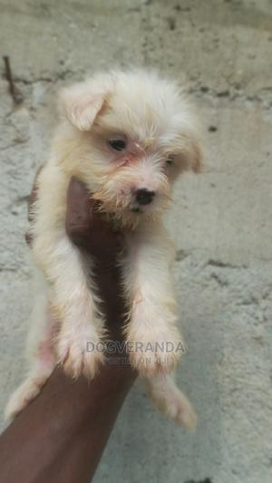 1-3 Month Male Mixed Breed Lhasa Apso   Dogs & Puppies for sale in Rivers State, Port-Harcourt