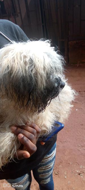 3-6 Month Female Purebred Lhasa Apso   Dogs & Puppies for sale in Edo State, Ekpoma