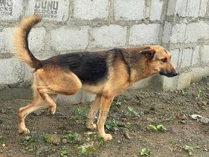 1+ Year Male Mixed Breed German Shepherd | Dogs & Puppies for sale in Abuja (FCT) State, Katampe