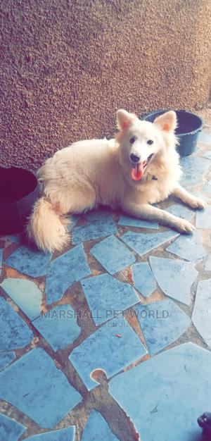 6-12 Month Male Purebred American Eskimo | Dogs & Puppies for sale in Kwara State, Ilorin West