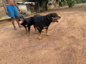 1+ Year Male Purebred Rottweiler | Dogs & Puppies for sale in Enugu State, Enugu