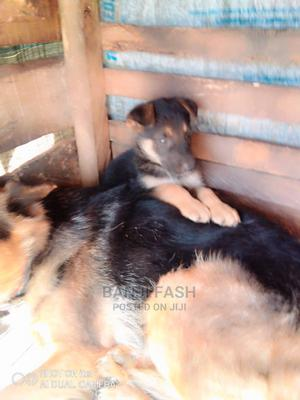 1-3 Month Female Purebred German Shepherd | Dogs & Puppies for sale in Ondo State, Akure