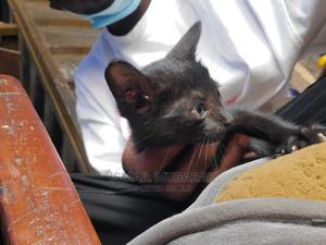 0-1 month Female Purebred Snowshoe | Cats & Kittens for sale in Lagos State, Victoria Island
