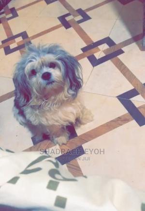 1+ Year Male Purebred Lhasa Apso | Dogs & Puppies for sale in Ogun State, Ado-Odo/Ota