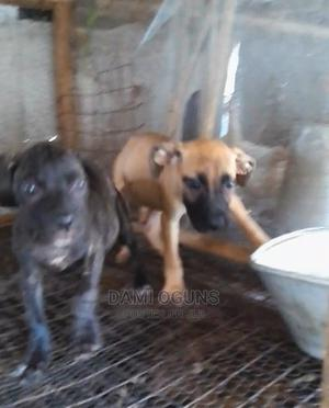 1-3 Month Female Purebred Boerboel   Dogs & Puppies for sale in Lagos State, Badagry