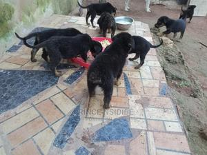 1-3 Month Male Mixed Breed German Shepherd | Dogs & Puppies for sale in Ogun State, Ifo