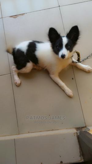 3-6 Month Female Purebred American Eskimo | Dogs & Puppies for sale in Ogun State, Ayetoro