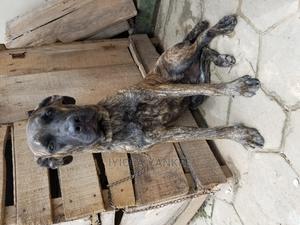 6-12 Month Female Purebred Boerboel | Dogs & Puppies for sale in Ekiti State, Ado Ekiti