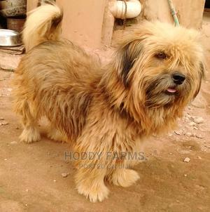 1+ Year Male Purebred Lhasa Apso | Dogs & Puppies for sale in Ogun State, Abeokuta South