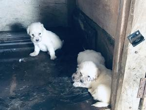 1-3 Month Female Purebred Lhasa Apso | Dogs & Puppies for sale in Abuja (FCT) State, Karu