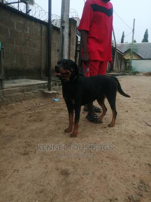 1+ Year Female Purebred Rottweiler | Dogs & Puppies for sale in Nasarawa State, Karu-Nasarawa