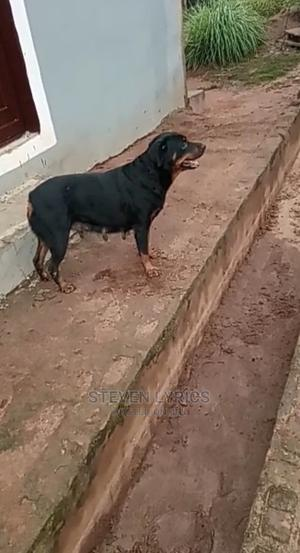 1+ Year Female Purebred Rottweiler | Dogs & Puppies for sale in Lagos State, Ipaja