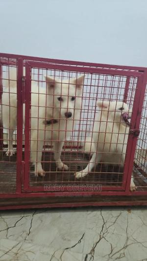 1+ Year Male Purebred American Eskimo | Dogs & Puppies for sale in Lagos State, Lekki