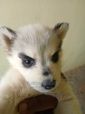 1-3 Month Female Purebred Siberian Husky | Dogs & Puppies for sale in Abuja (FCT) State, Karu