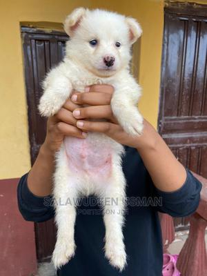 1-3 Month Male Purebred American Eskimo | Dogs & Puppies for sale in Oyo State, Ogbomosho South