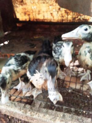 2-3months Old   Other Animals for sale in Ogun State, Ado-Odo/Ota