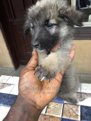 3-6 Month Male Mixed Breed Caucasian Shepherd | Dogs & Puppies for sale in Rivers State, Port-Harcourt