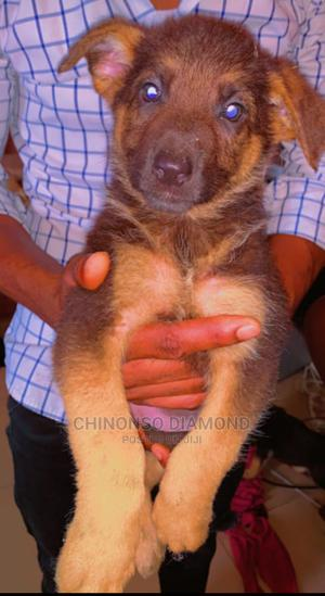 0-1 Month Female Purebred Caucasian Shepherd   Dogs & Puppies for sale in Anambra State, Awka