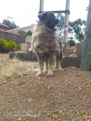 1+ Year Male Purebred Caucasian Shepherd | Dogs & Puppies for sale in Plateau State, Jos