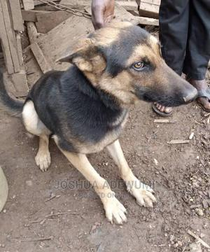 1+ Year Male Purebred German Shepherd | Dogs & Puppies for sale in Lagos State, Amuwo-Odofin