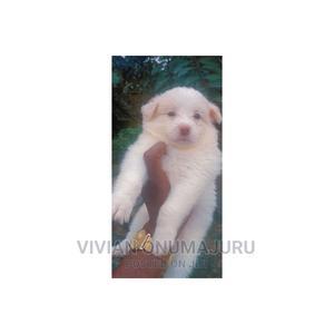 3-6 month Female Purebred American Eskimo | Dogs & Puppies for sale in Imo State, Owerri