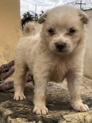 1-3 Month Male Purebred American Eskimo | Dogs & Puppies for sale in Lagos State, Ifako-Ijaiye
