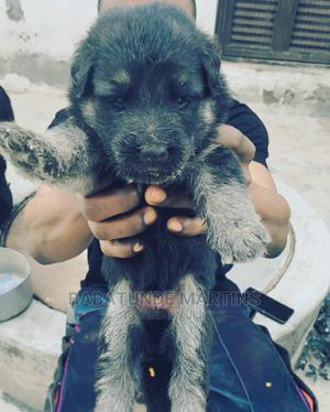 1-3 Month Male Purebred German Shepherd   Dogs & Puppies for sale in Kwara State, Ilorin South